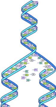 Human Genome DNA
