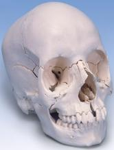 Human Brain and Head Skull Model