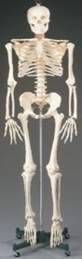Human Body Skeleton Model